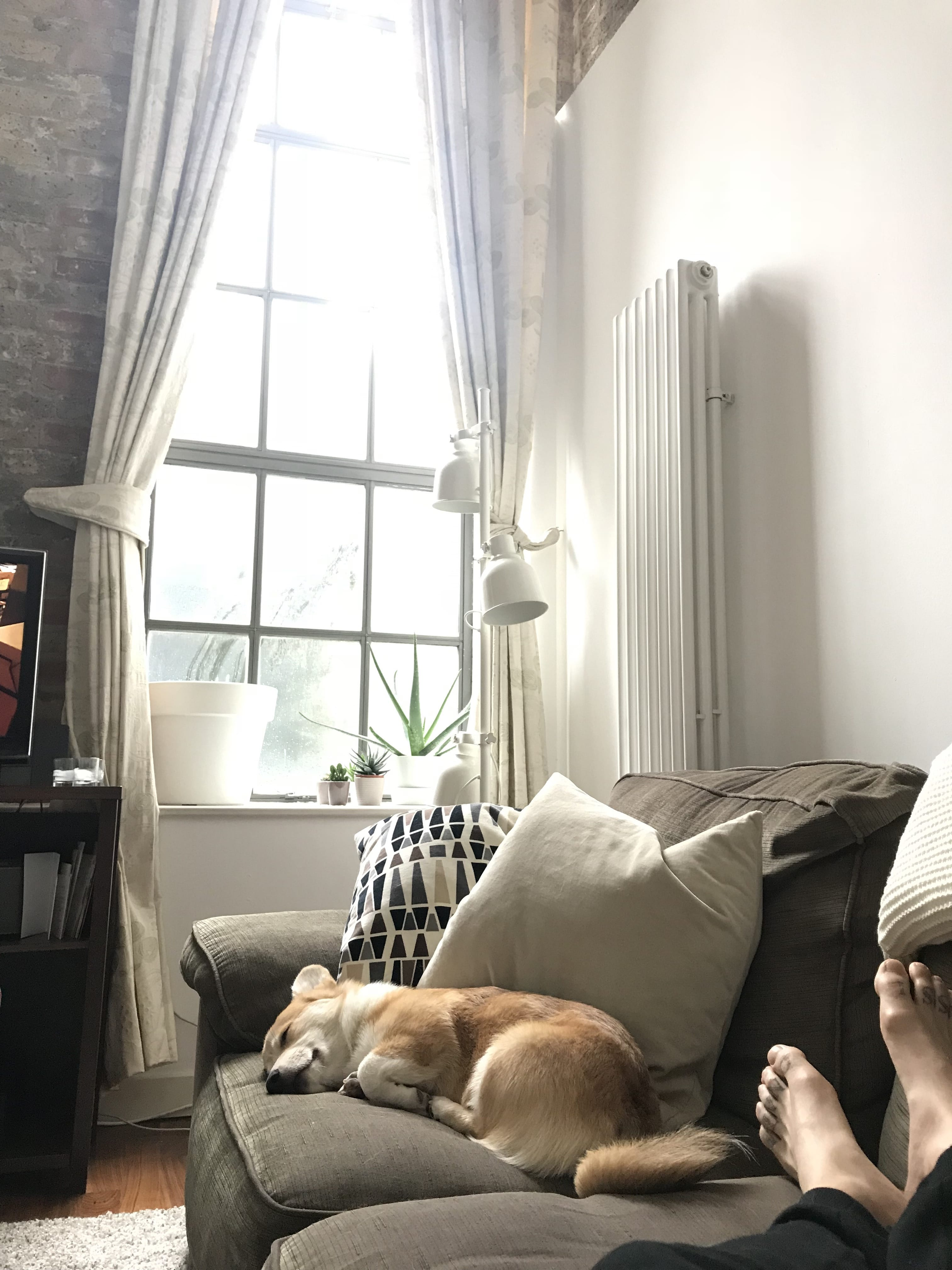 Corgi asleep on sofa in warehouse conversion flat
